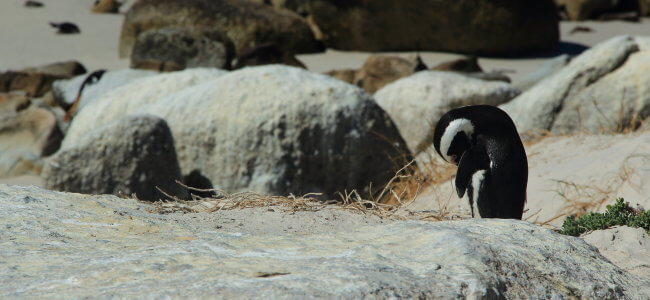 penguins at boulders beach simon's town south africa